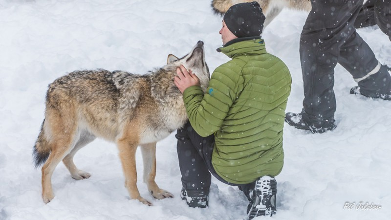 Kiss A Wolf Under The Northern Lights With This Wild Trip Gearminded