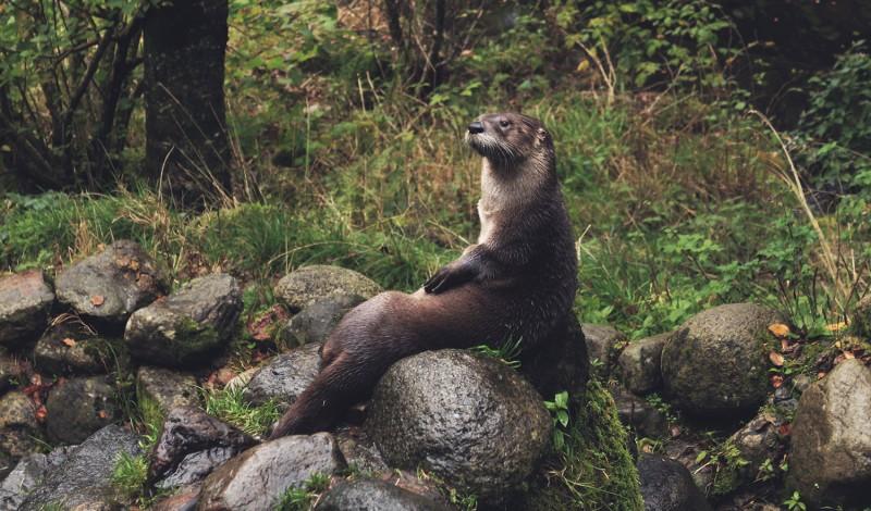 Sea Otter - Gearminded.com