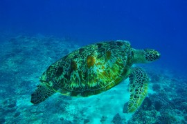 Sea Turtle - Gearminded.com