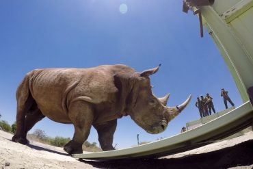 The Last of the Rhinos: Everything You Need to Know