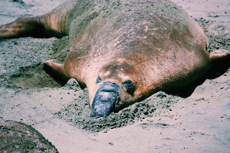 Elephant Seal Point Reyes