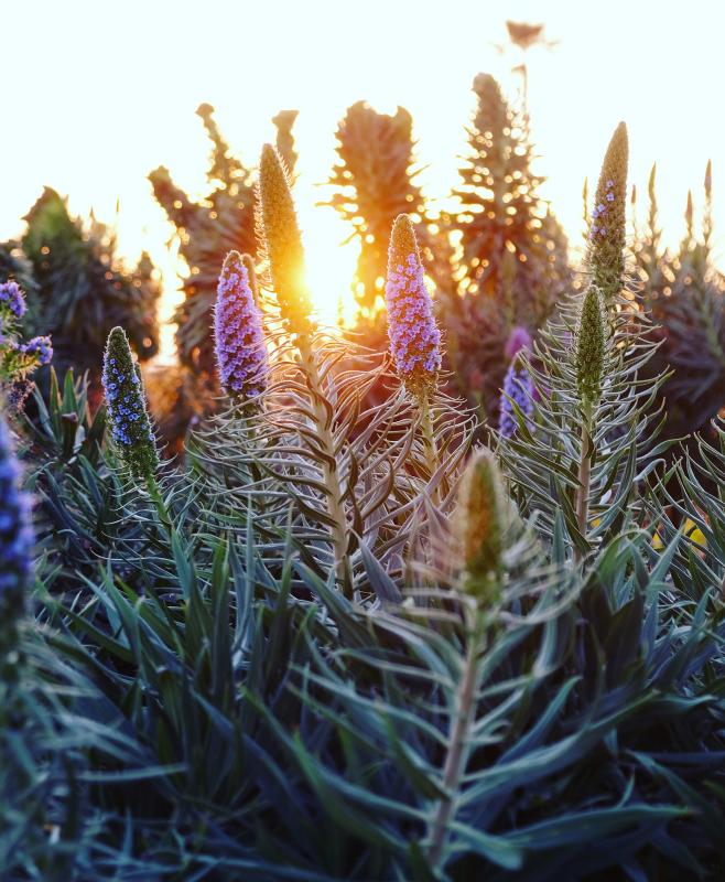 Coastal flowers Laguna Beach, CA