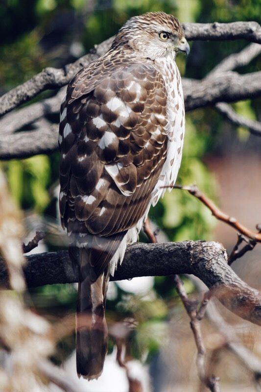 Wild hawk Gearminded.com