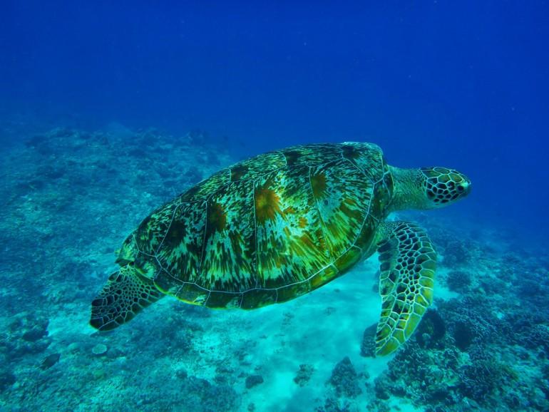 Sea Turtle - Gearminded.com