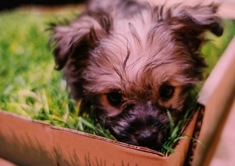 Fresh Patch dog grass Gearminded.com