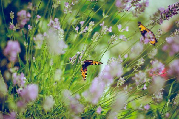 Butterflies Gearminded.com
