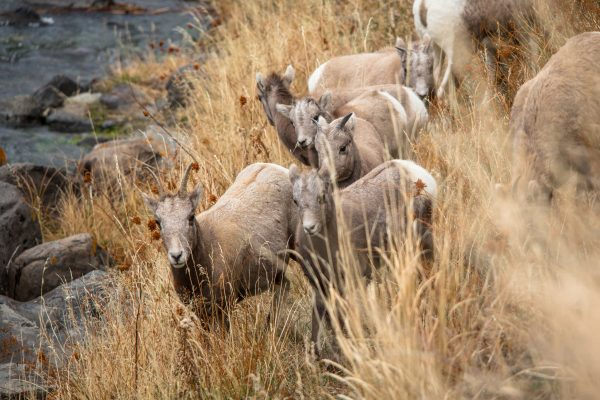 Bighorn Sheep Ewes and Lambs along Gardiner River Photo Credit: Yellowstone NPS