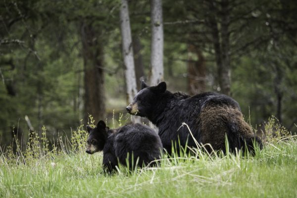 Black Bear Sow with Cub in Yellowstone National Park Photo Credit: Yellowstone NPS